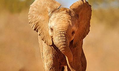 szavanna-elefant