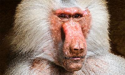 szavanna-majom