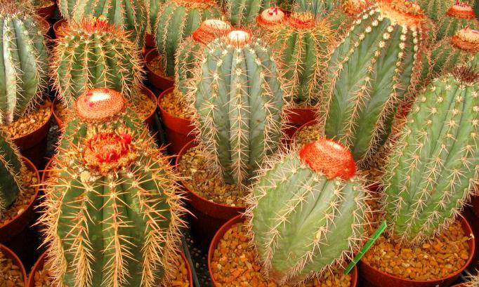 kaktusz4