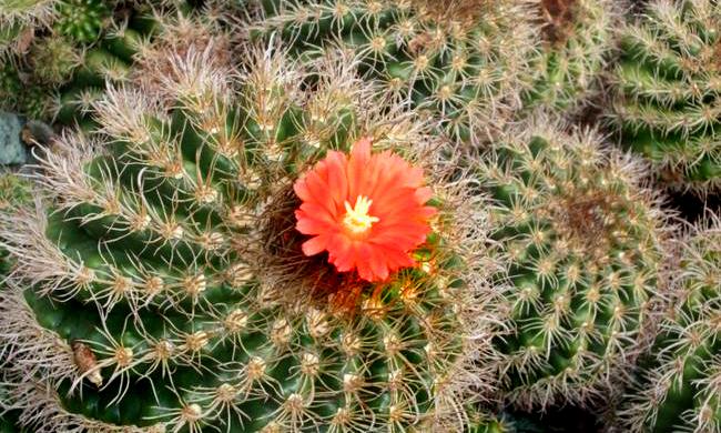 kaktusz5