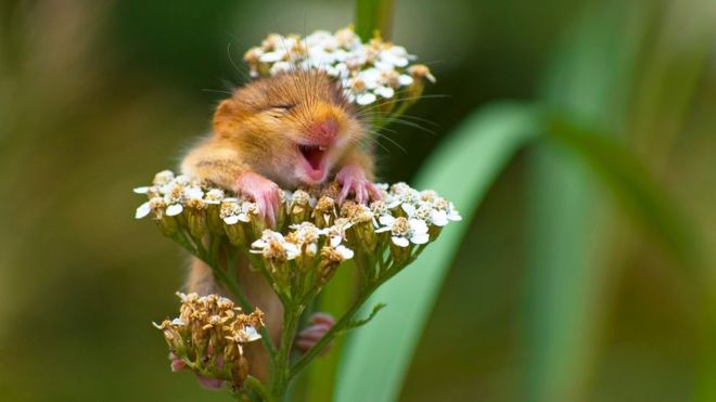 _99225414_andrea-zampatti_the-laughing-dormouse_00001732 (1)